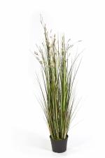 Gras 'bloeiend' cremekleurig