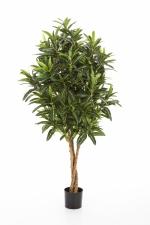 Croton Goldfinger 105cm