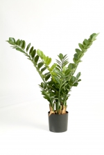 Smaragd Zamio Plant