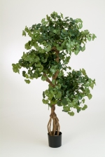 Sweet gingko on crazy trunk 145cm brandvertraagd