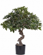 Eonymus Jap Bonsai Umbrella 60cm