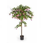 Fuchsia Umbrella Tree 140cm