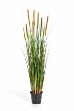 Foxtail grasplant met wit/groene pluim 90cm