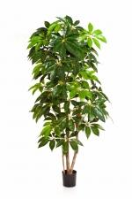 Giant schefflera tree 190cm brandvertraagd