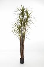 Dracaena magenta 150cm