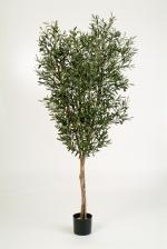 Olijf - Natural Olive tree 120cm