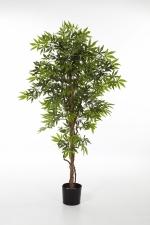 Japanese Maple 150cm