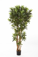 Croton Goldfinger Reflexa 150cm