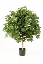 Giant Ball Schefflera Variegated 110cm