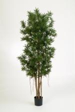 Podocarpus Reflexa 150cm