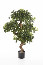 Pittosporum Mountain Tree 120cm