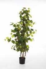 Druivenboom 120cm