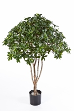 Euonymus Japonica Tree 120cm