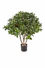 Euonymus Japonica Bush  75cm