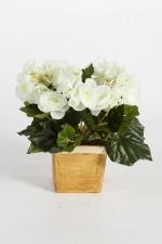 Begonia Bush 20cm Crème