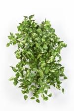 Mini Pothos Bush 50cm