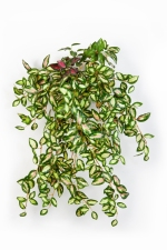 Mini Hoya 50cm