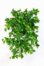 Mini Philodendron 50cm