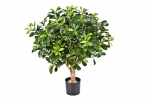 Pittosporum Bolboom 65cm