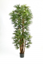 Baby Fan Palm 150cm