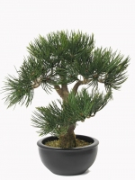 Bonsai Angel Pine 33cm