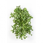 Mini Pothos bush x 560