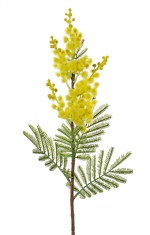 Mimosaspray (Acacia dealbata) 60cm