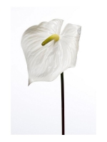 Anthurium Floral Cream 80cm