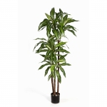 Dracaena Fragrans Steud Variegated 120cm