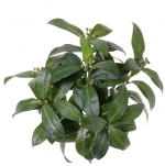 Laurierbush (Laurus)  40cm, brandvertragend