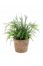 Rhipsalis in terracotta pot aged rond 11cm