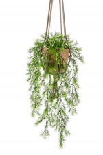 Asparagus sprengeri hanging bush x6 75cm in tc hanging pot aged 16cm