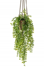 Ficus pumila hanging bush x6 80cm in tc hanging pot aged 16cm